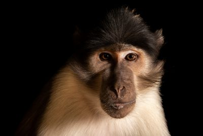 Photo: An endangered white-naped mangabey (Cercocebus lunulatus) at the Rome Zoo.