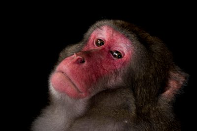 Photo: A male Japanese macaque (Macaca fuscata) at the Rome Zoo.