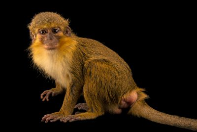 Photo: A Gabon Talapoin ( Miopithecus ogouensis) at Wroclaw Zoo.
