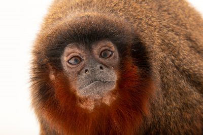 Photo: A coppery titi monkey (Callicebus cupreus) at the Denver Zoo.