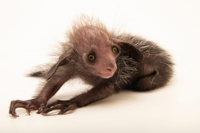 Photo: Tonks, a 16 day old baby aye-aye (Daubentonia madagascariensis) at the Denver Zoo. This species is listed as endangered by both the IUCN and the Federal List.