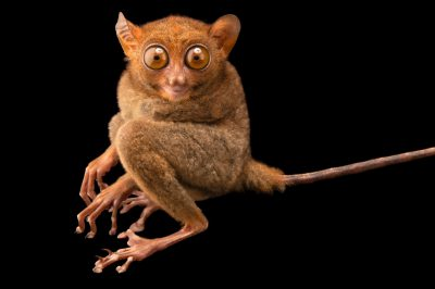 Photo: A Philippine tarsier (Tarsius syrichta syrichta) at the Avilon Zoo. This animal has the second largest eyes in the world compared to brain size.