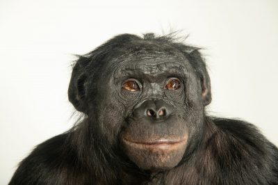 Photo: Kanzi the Bonobo (Pan paniscus) at the Ape Cognition and Conservation Initiative (ACCI) in Des Moines, Iowa.