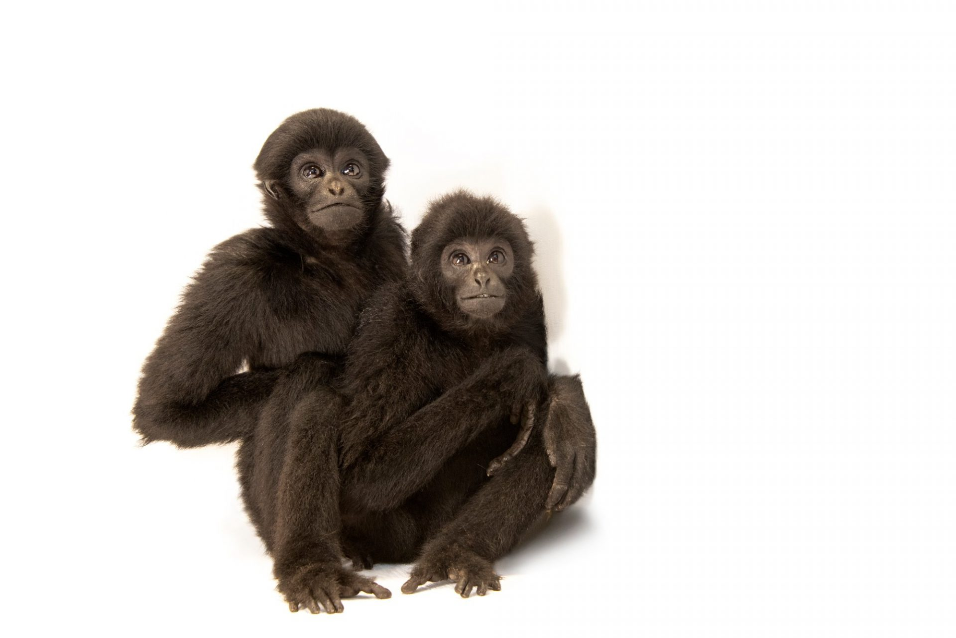 Photo: Two endangered Kloss's gibbons (Hylobates klossii) at Taman Safari in Bogor, West Java, Indonesia.