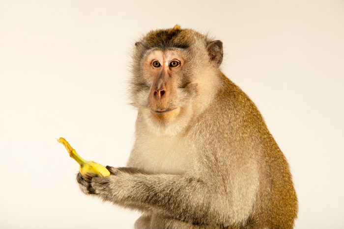 Photo: A crab-eating macaque (Macaca fascicularis fascicularis) at Monkey Forest.