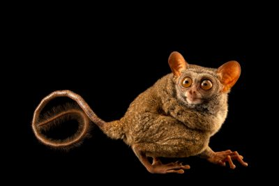 Photo: A critically endangered Siau Island tarsier (Tarsius tumpara) at Ragunan Zoo in Jakarta, Indonesia.