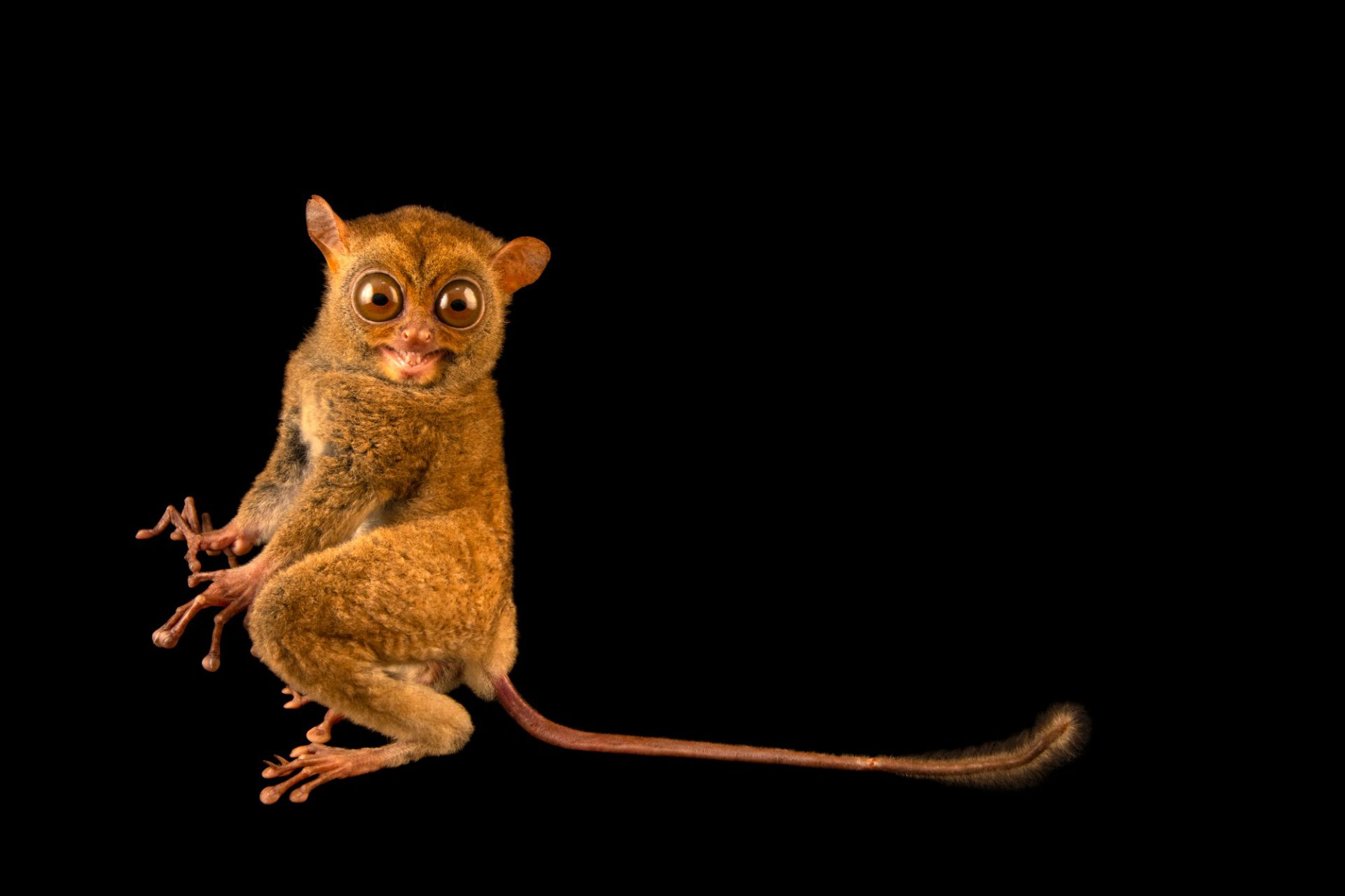 Photo: A western tarsier (Cephalopachus bancanus bancanus) at Ragunan Zoo in Jakarta, Indonesia.