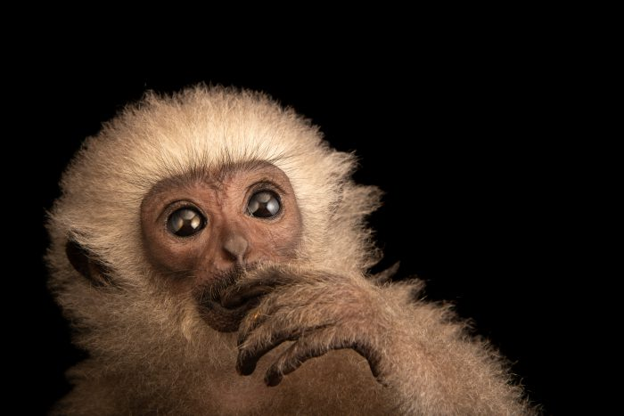 Photo: An endangered, juvenile silvery gibbon (Hylobates moloch) at Bali Safari.