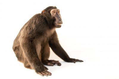 Photo: A Heck's macaque (Macaca hecki) at Bali Safari.