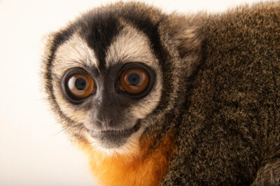 Photo: A black-headed night monkey (Aotus nigriceps) at Fundacao Jardim Zoologico de Brasilia.