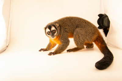 Photo: A behind the scenes shot of a black-headed night monkey (Aotus nigriceps) at Fundacao Jardim Zoologico de Brasilia.