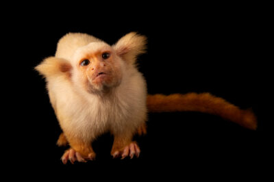 Photo: A gold-and-white marmoset (Mico chrysoleucus) at Fundacao Jardim Zoologico de Brasilia.