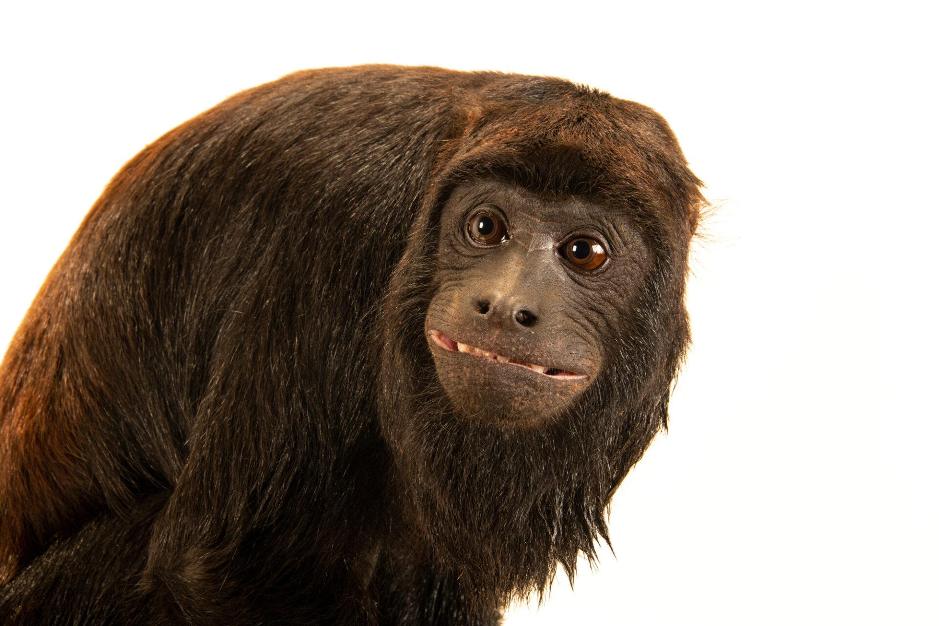 Photo: A male red-handed howler monkey (Alouatta belzebul) at Fundacao Jardim Zoologico de Brasilia.