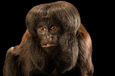 Photo: A critically endangered, female black bearded saki (Chiropotes satanas) at Fundacao Jardim Zoologico de Brasilia.
