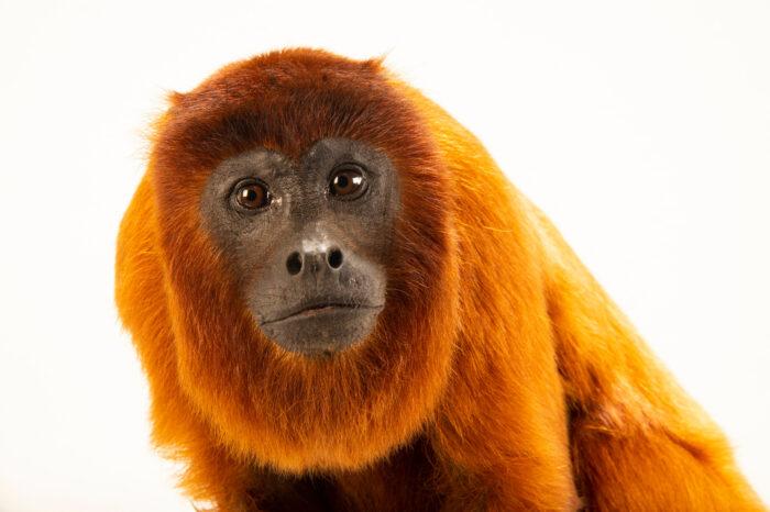 Photo: A female purús red howler monkey (Alouatta seniculus peruensis) at Fundacao Jardim Zoologico de Brasilia.