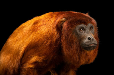 Photo: A female purús red howler monkey (Alouatta seniculus peruensis) at Fundacao Jardim Zoologico de Brasilia.