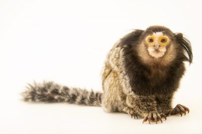 Photo: A black tufted-eared marmoset (Callithrix penicillata) named MacKensie at the University of Nebraska, Omaha.