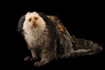 Photo: A white-faced marmoset (Callithrix geoffroyi) named Spanky at the University of Nebraska, Omaha.