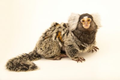 Photo: An adult female Common Marmoset (Callithrix jacchus) named Liilu at the University of Nebraska, Omaha.