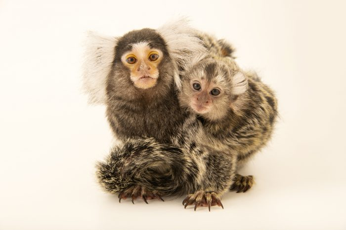 Photo: An adult female Common Marmoset (Callithrix jacchus) named Liilu and her three-month old baby named Marshmallow at the University of Nebraska, Omaha.
