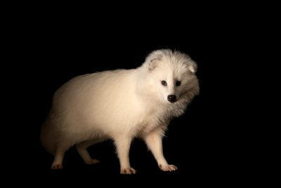 Photo: A white (leucistic) Tanuki or raccoon dog (Nyctereutes procyonoides) at the Oklahoma City Zoo.