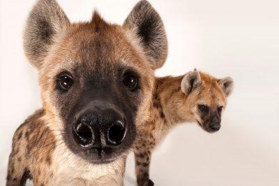 Photo: Spotted hyena (Crocuta crocuta) the Sunset Zoo.
