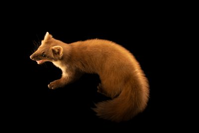 Photo: Pine marten (Martes martes) at the Moscow Zoo.