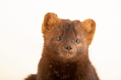 Photo: Sable (Martes zibellina) at the A.N. Severtsov Institute of Ecology and Evolution Russian Academy of Science.