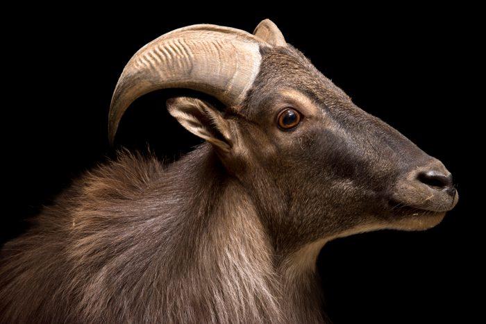 Photo: A near threatened Himalayan tahr (Hemitragus jemlahicus) at the Rome Zoo.