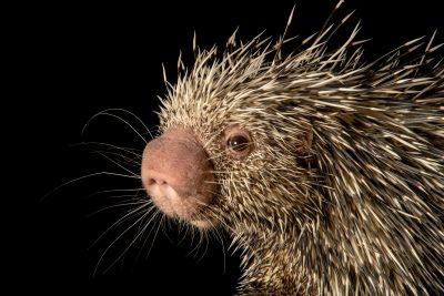 A Brazilian porcupine (Coendou prehensilis) named Charlie at the Nashville Zoo.