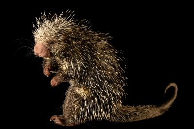 A Brazilian porcupine (Coendou prehensilis) named Charlie at the Nashville Zoo.