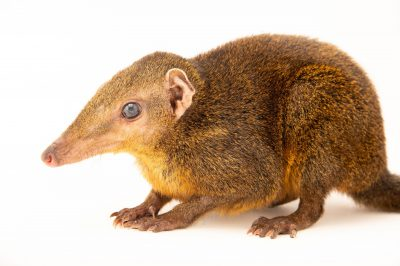 Photo: A Palawan treeshrew (Tupaia palawanensis) at the Avilon Zoo.