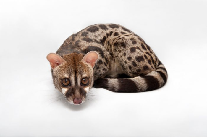 Photo: A Rusty-spotted genet or Central African large-spotted genet (Genetta maculata) at the Miller Park Zoo.