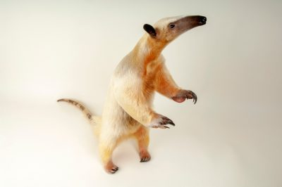 Photo: Southern tamandua (Tamandua tetradactyla) at the Denver Zoo.