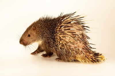 Photo: A Sunda porcupine (Hystrix javanica) at a private collection in Jakarta, Indonesia.