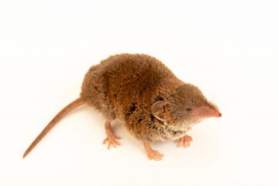 Photo: A greater white-toothed shrew (Crocidura russula) wild caught in Vila do Conde.