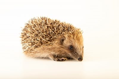 Photo: An Iberian hedgehog (Erinaceus europaeus hispanicus) at Parque Biologico.