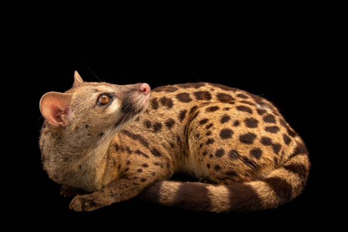 Photo: A rusty spotted genet (Genetta maculata) at the Avilon Zoo.