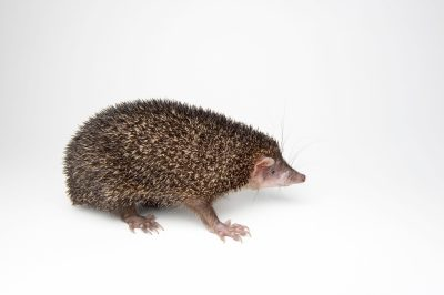 Photo: A greater Madagascar tenrec (Setifer setosus) at the Houston Zoo.