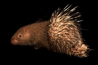 Photo: A Malayan porcupine (Hystrix brachyura brachyura) at Bali Safari.