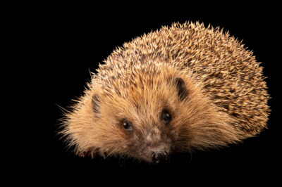 Photo: An unidentified hedgehog, at Wildwood Trust near Canterbury, England.