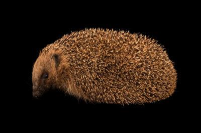 A European hedgehog (Erinaceus europaeus) at Wildwood Trust near Canterbury, England.