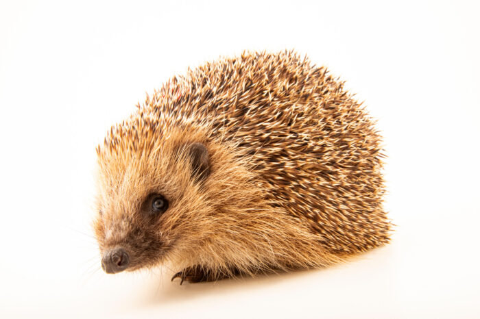A European hedgehog (Erinaceus europaeus) at Wildwood Trust near Canterbury, England.
