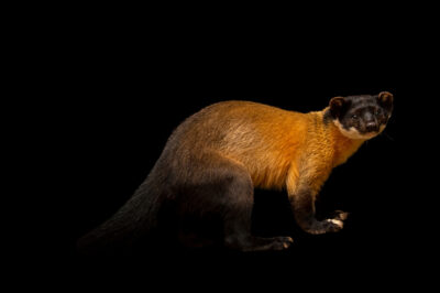 Photo: A Siberian yellow-throated marten (Martes flavigula aterrima) at Tierpark Berlin.