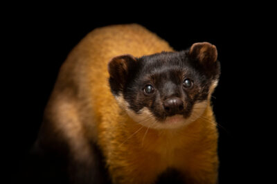 Photo: A Siberian yellow-throated marten (Martes flavigula aterrima) at Berlin Tierpark in Germany.