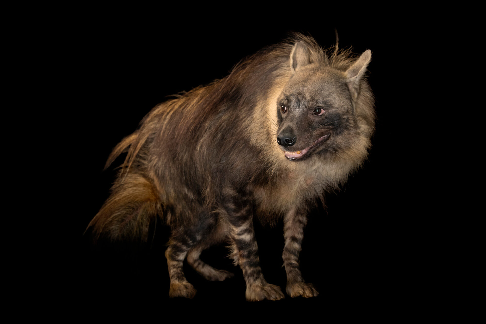 Photo: A brown hyena (Parahyaena brunnea) at the Prague Zoo. This species is listed as Near Threatened on the IUCN Red List.