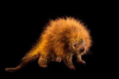 Photo: An orange-spined hairy dwarf porcupine (Coendou spinosus) at the Membeca Lagos Farm, near Rio de Janeiro, Brazil.