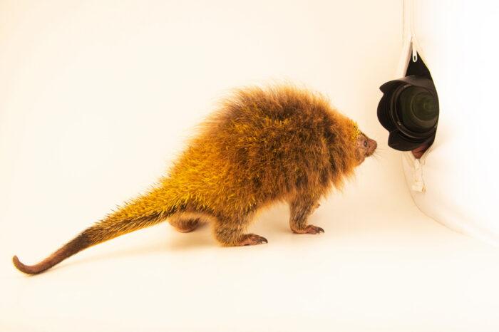 Photo: An orange-spined hairy dwarf porcupine (Coendou spinosus) explores the studio set up and camera at the Membeca Lagos Farm, near Rio de Janeiro, Brazil.