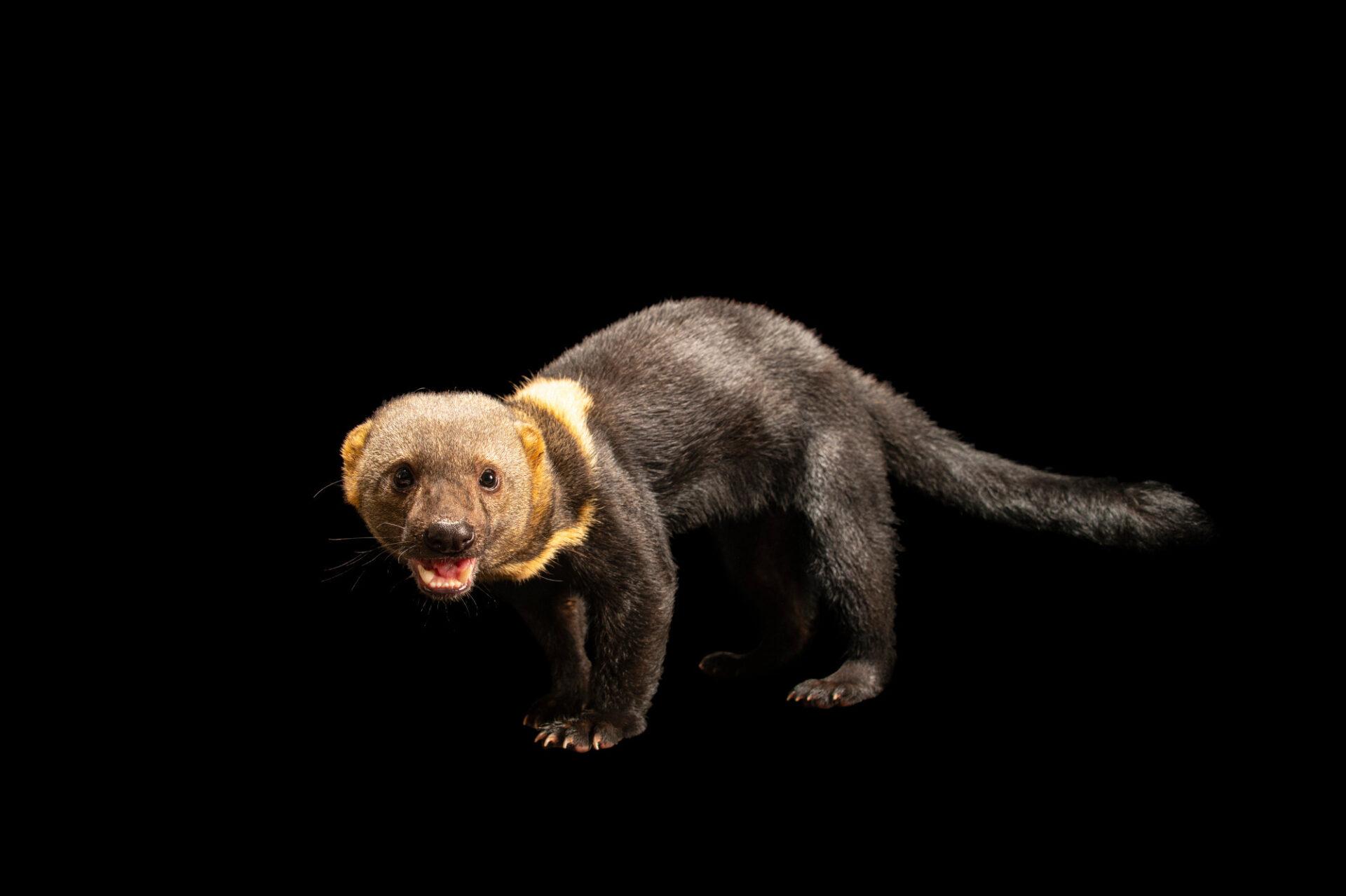 Photo: A tayra (Eira barbara madeirensis) at Zoologico de Quito.
