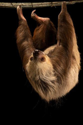 Photo: A Hoffmann's two-toed sloth (Choloepus hoffmanni capitalis) at Zoologico de Quito.